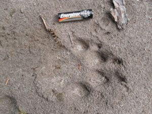 Cougar Tracks Rear ontop of Front